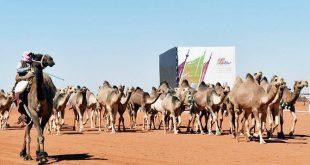 Dünyanın ilk deve organizasyonu Suudi Arabistan'da