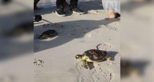 BAE'de yavru kaplumbağalar tekrar denize bırakıldı