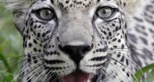 Arap Leoparı koruma altına alınıyor