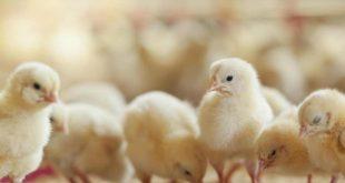 Yumurtadan erkek civciv çıkarsa öldürülecek!