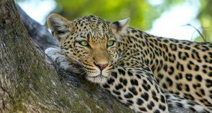 Arap Leoparı'nı kurtarmak için 20 milyon dolar harcayacaklar