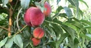 Suudi çiftçiler çölde altı çeşit meyve üretti
