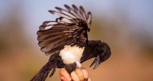 Dünyanın en uzun yol giden göçmen kuşu: Asir Saksağanı