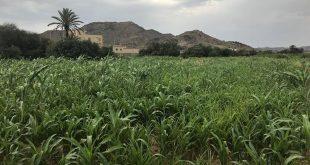 Şiddetli yağışlar, Suudi Arabistan'ın güneyindeki Zahran Çiftlikleri'ne yeniden hayat verdi