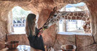 Abu Dabi'de zürafalar eşliğinde eşsiz bir kahvaltı