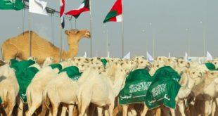 Suudi Arabistan'da Deve Festivali'nin en güzelleri ödüllendirildi