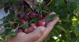Suudi Arabistan'ın antioksidanı: el-Kanar'ul Hasavi
