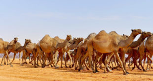 Suudi Arabistan'da 26 milyon dolarlık deve hastanesi yapılıyor