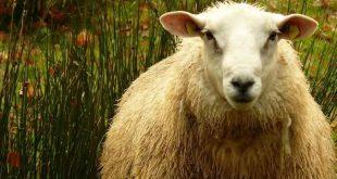 Dolly'yi klonlayan bilim insanları koronavirüs tedavisi için hükümetle görüşmelere başladı