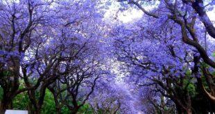 Jakaranda ağaçları Suudi Arabistan'ı mora boyadı