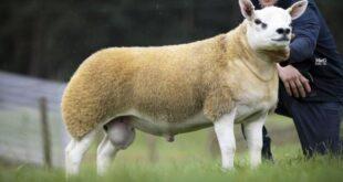 Dünyanın en pahalı koyunu 367 bin 500 sterline alıcı buldu