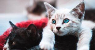 """Yeni bir araştırmaya göre kediler """"ikili oynuyor"""": Dosttan düşmandan mama alıyorlar"""