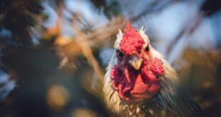 Yeni araştırma: Bu dinozorlar tavuklardan bile daha kötü uçuyordu