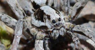 Nesli tükendiği düşünülen zehirli örümcek 27 yıl sonra bulundu
