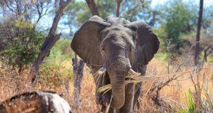 Kenya'da bebek fil sayısında patlama yaşandı