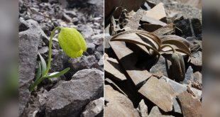 Bir çiçek türünün insanlar yüzünden evrim geçirdiği ortaya çıktı
