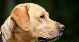 Köpekler, sahiplerinin başka köpekleri sevdiğini hayal edip kıskanıyor