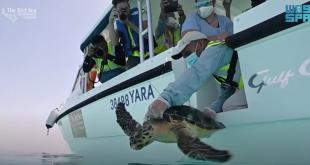 Suudi Arabistan'da nesli tükenmekte olan iki kaplumbağa kurtarıldı (VİDEO)