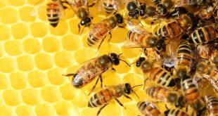 Araştırma: Koku alma duyusu güçlü olan arılar koronavirüsü tespit edebilir mi?