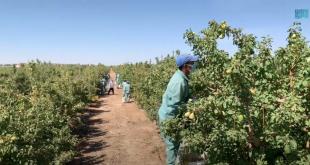Tebük'te armut ve elma hasadı başladı (VİDEO)